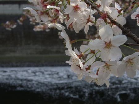 hanamizugawa0411.jpg